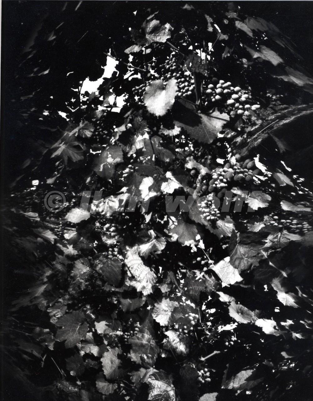 Grapes-6/France/1997/24x30cm